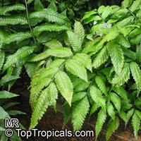 Bolbitis heteroclita, Water Fern