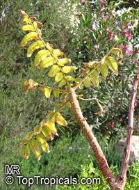 Boswellia papyrifera, Boswellia   Click to see full-size image