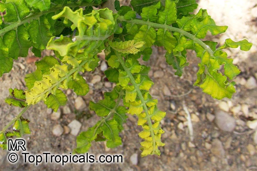 how to grow boswellia sacra tree