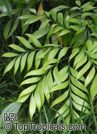 Bowenia spectabilis, Cycad, Zamia Fern  Click to see full-size image