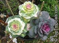Brassica oleracea Acephala, Kale, Curly-leafed Cabbage  Click to see full-size image