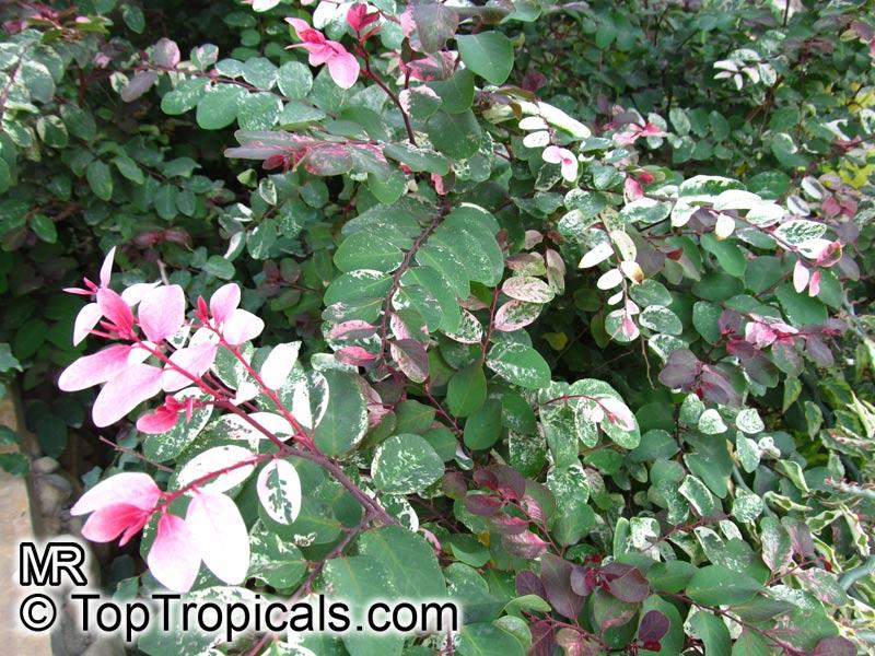 Garden Bush: Breynia Disticha, Breynia Nivosa, Snow Bush, Hawaiian-Leaf