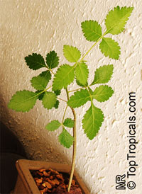Bursera hindsiana, Copal, Torote Prieto  Click to see full-size image