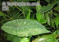 Caladium steudneriifolium, Caladium  Click to see full-size image