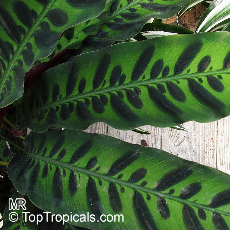 Calathea insignis Calathea plants for sale
