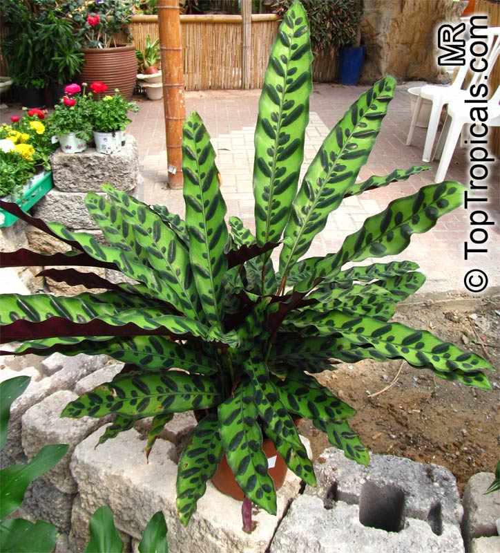Which Plant Was Native To The New World: Calathea Insignis