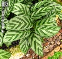 Calathea sp., Calathea  Click to see full-size image