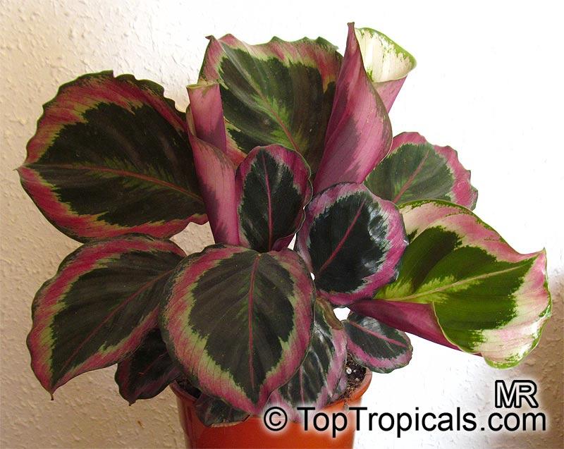 Calathea Roseopicta Calathea Toptropicals Com