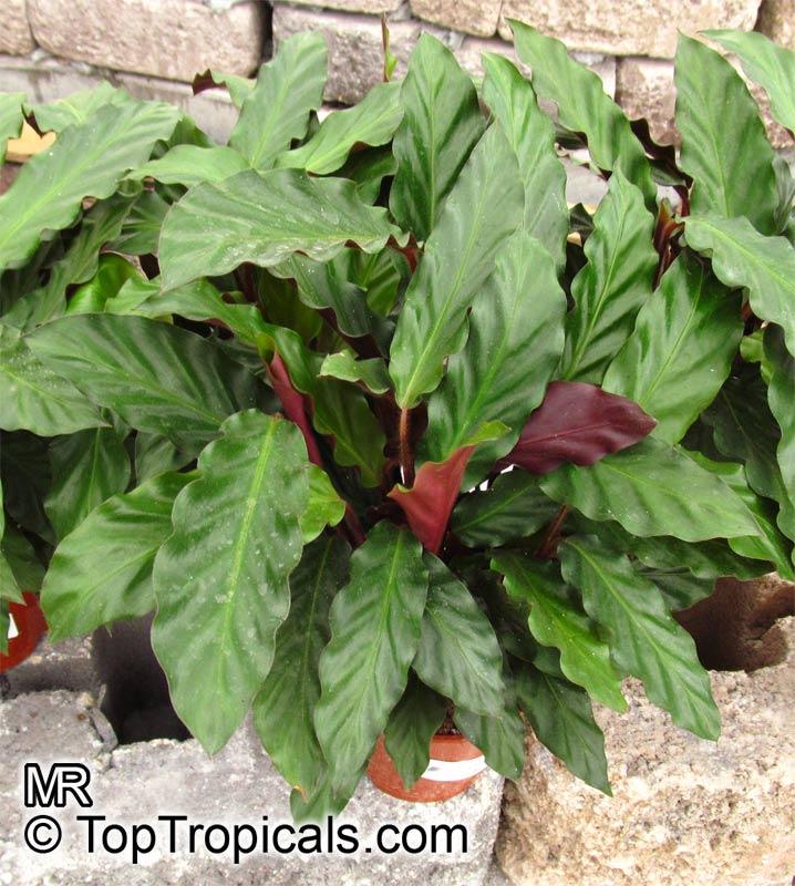 Calathea rufibarba velvet calathea fuzzy pheasant Calathea plants for sale