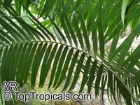 Ceratozamia mexicana, Palmilla, Forest PineappleClick to see full-size image