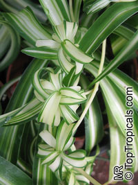 Chlorophytum sp., Spider Plant  Click to see full-size image