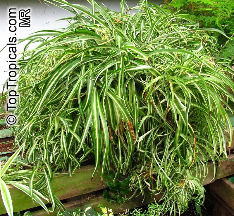 Chlorophytum sp., Spider PlantClick to see full-size image Green Garden Spider