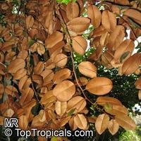 Chrysophyllum oliviforme  Click to see full-size image