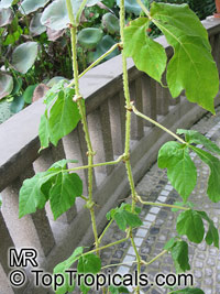 Cissus gongylodes , Treebine, Wing Stemmed Grape Ivy  Click to see full-size image