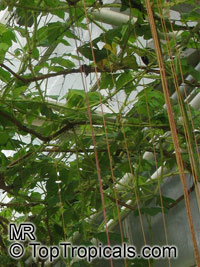 Cissus gongylodes , Treebine, Wing Stemmed Grape IvyClick to see full-size image