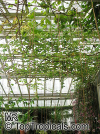 Cissus gongylodes , Treebine, Wing Stemmed Grape Ivy