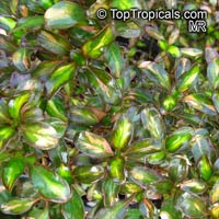 Coprosma repens, Dwarf Variegated Mirror Plant  Click to see full-size image