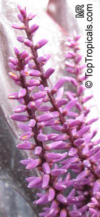 Cordyline fruticosa, Cordyline terminalis, Hawaiian Ti Leaf  Click to see full-size image