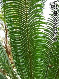 Cycas rumphii, False Sago  Click to see full-size image
