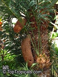 Cycas thouarsii, Madagascar Cycad, Madagascar Sago  Click to see full-size image