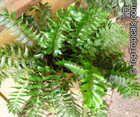 Cyrtomium falcatum , Holly Fern  Click to see full-size image