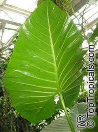 Cyrtosperma merkusii, Pulaka, Swamp Taro, Giant Swamp TaroClick to see full-size image