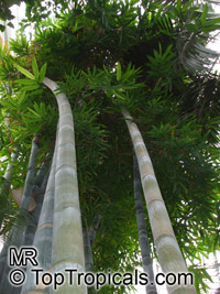 Dendrocalamus giganteus, Bambusa gigantea, Giant Bamboo  Click to see full-size image