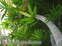 Dendrocalamus giganteus, Bambusa gigantea, Giant BambooClick to see full-size image