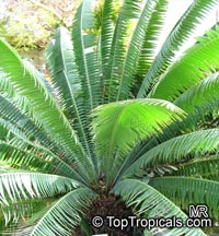 Dioon spinulosum, Giant Dioon, Gum Palm  Click to see full-size image