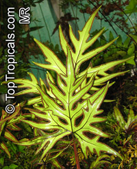 Doryopteris pedata, DoryopterisClick to see full-size image