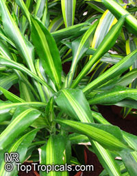 Dracaena fragrans , Corn plant