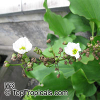 Echinodorus longiscapus, Sword-Plant  Click to see full-size image
