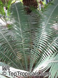 Encephalartos natalensis, Natal Cycad, Natal Giant CycadClick to see full-size image