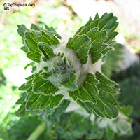 Eremostachys laciniata, Phlomis laciniata, Desert SpikeClick to see full-size image