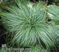 Festuca glauca, Blue Fescue  Click to see full-size image