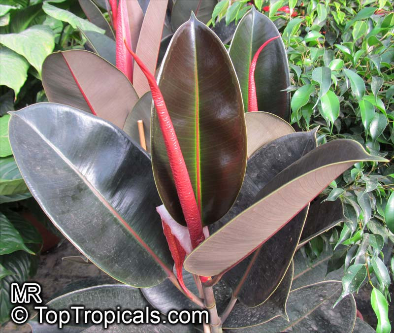 Ficus Elastica Rubber Tree Click To See Full Size Image
