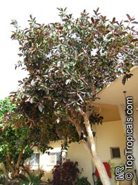 Ficus elastica, Rubber Tree  Click to see full-size image
