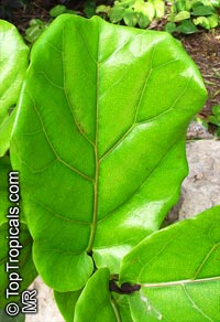 Ficus lyrata, Fiddle-Leaf Ficus