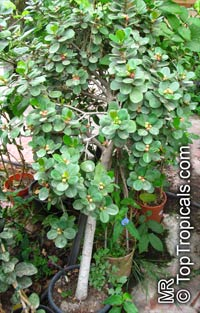 """Ficus microcarpa """"Green Island""""Click to see full-size image"""