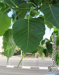 Ficus religiosa - Bo-Tree, Peepal, Sacred Ficus  Click to see full-size image
