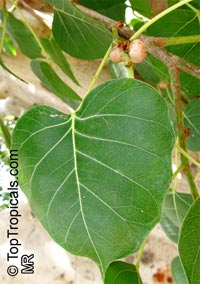 Ficus religiosa, Peepal - seeds