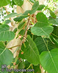 Ficus religiosa, Bo-Tree, Sacred Ficus