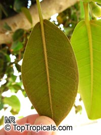 Ficus rubiginosa, Rusty-Leaf Fig, Port-Jackson Fig  Click to see full-size image