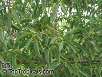 Ficus cordata salicifolia, Willow-leafed fig  Click to see full-size image