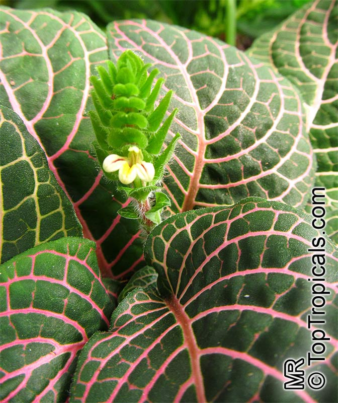 Onia Verschaffeltii Mosaic Plant Nerve Painted Net Leaf Click To See Full