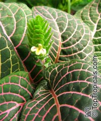 Fittonia verschaffeltii, Mosaic Plant, Nerve Plant, Painted Net Leaf