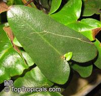Hemionitis arifolia, Asplenium arifolia, Hemionitis cordifolia, Heart Fern Click to see full-size image