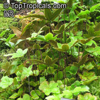 Hemionitis palmata, Starfern  Click to see full-size image