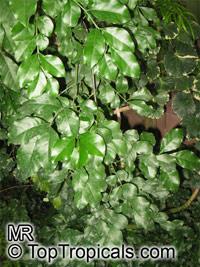 Hippocratea paniculata, Hippocratea  Click to see full-size image