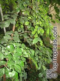 Hippocratea paniculata, HippocrateaClick to see full-size image